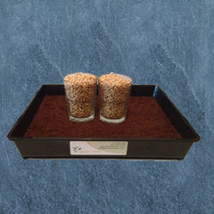 Two Cups Of Soaked Wheatgrass Seeds Inside Black Tray