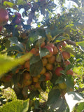 Image of cider apples in the Small Acres Cyder orchard