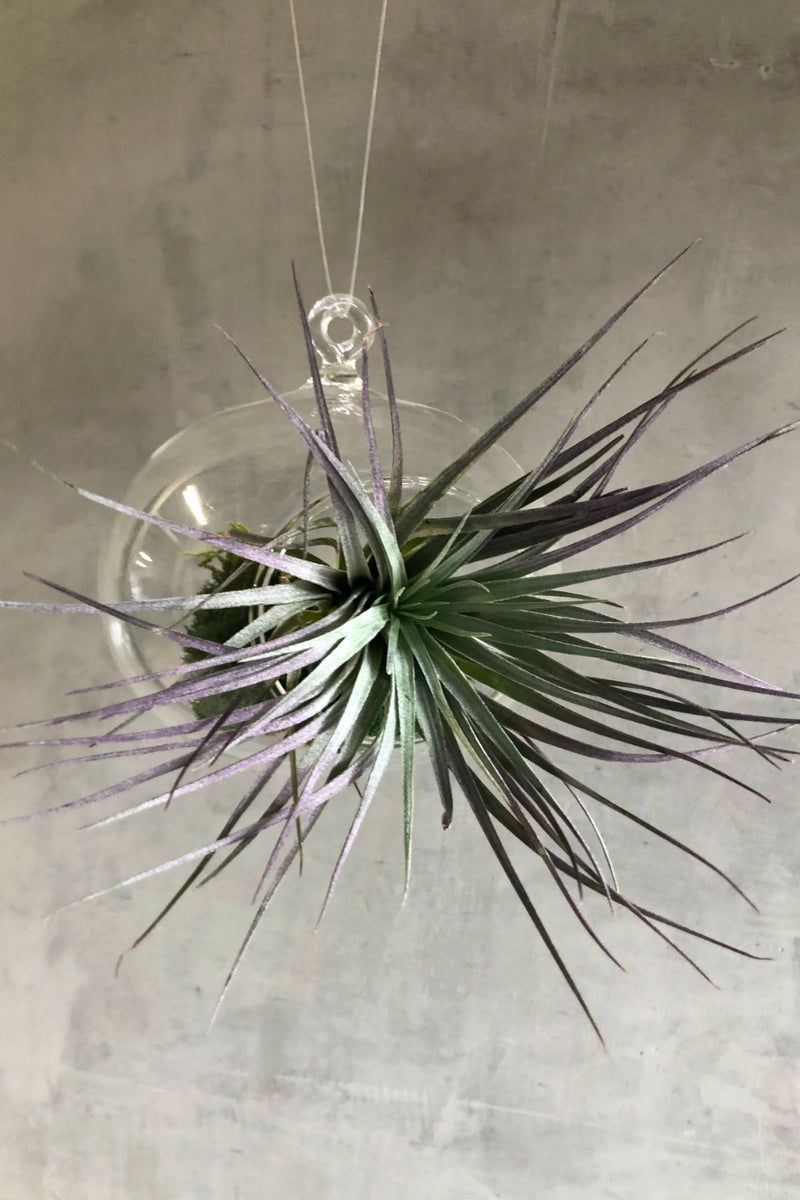 Tillandsia 'Houston' Air Plant