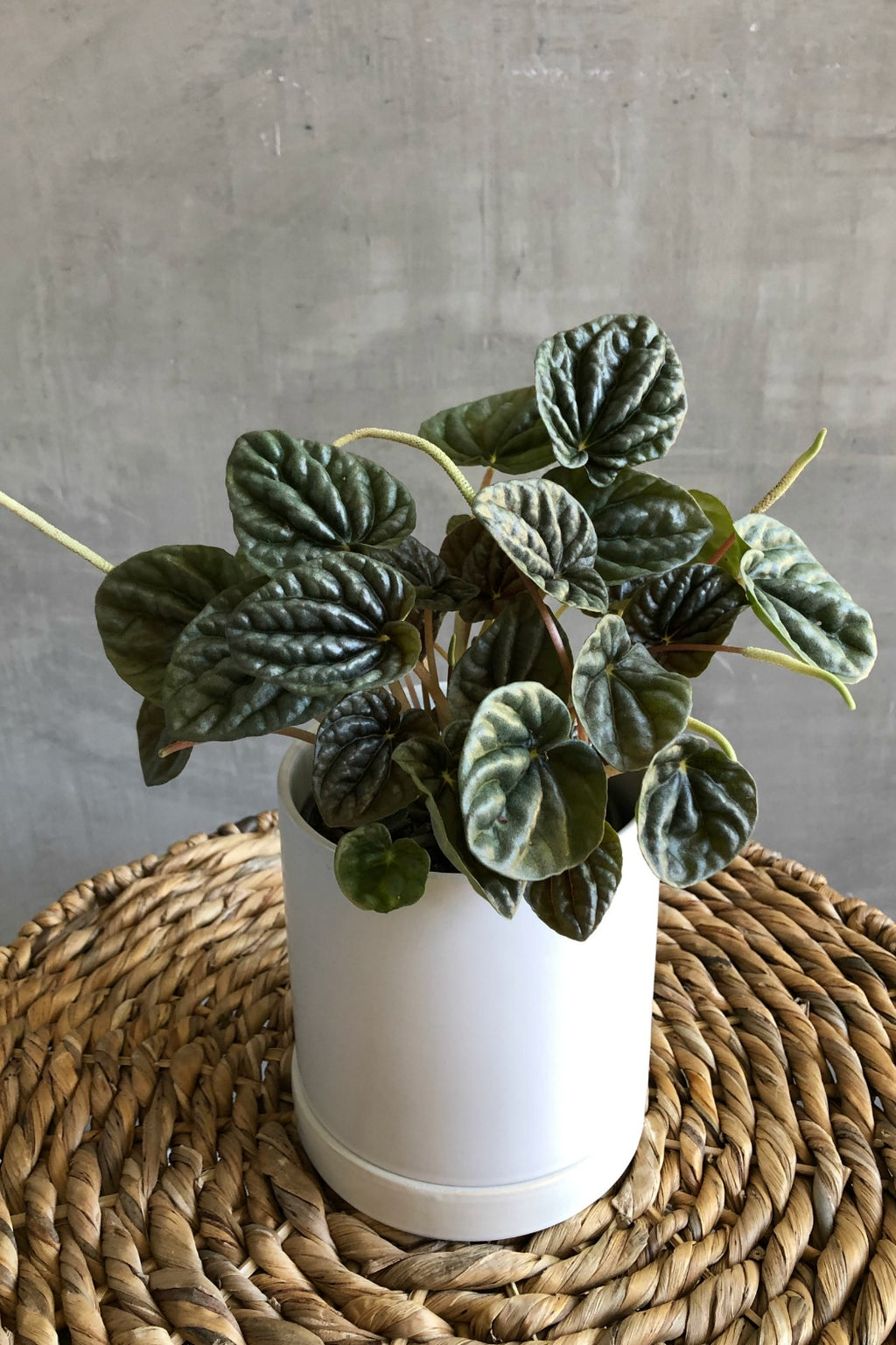 "4"" Peperomia 'Frost'"