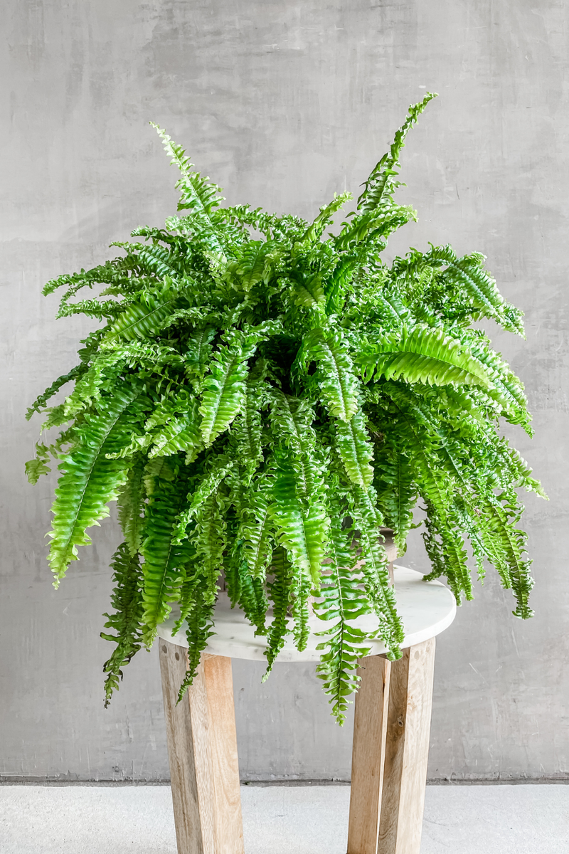 Boston Fern 'Fluffy Ruffles' Hanging Basket 8