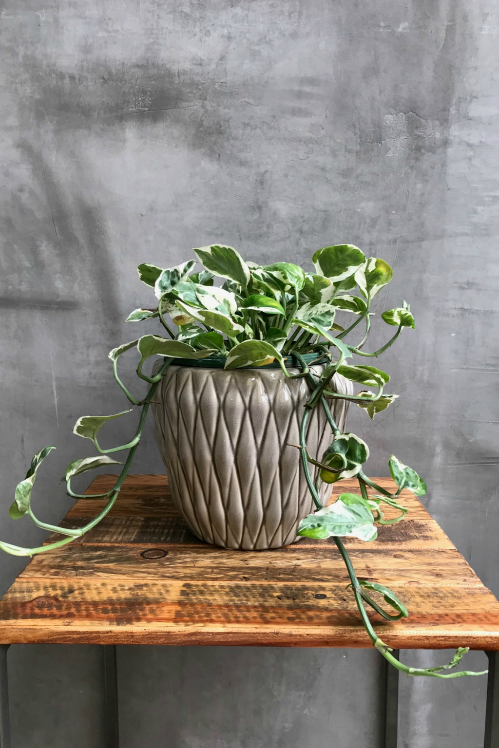Pothos 'Pearls and Jade'- Hanging Basket
