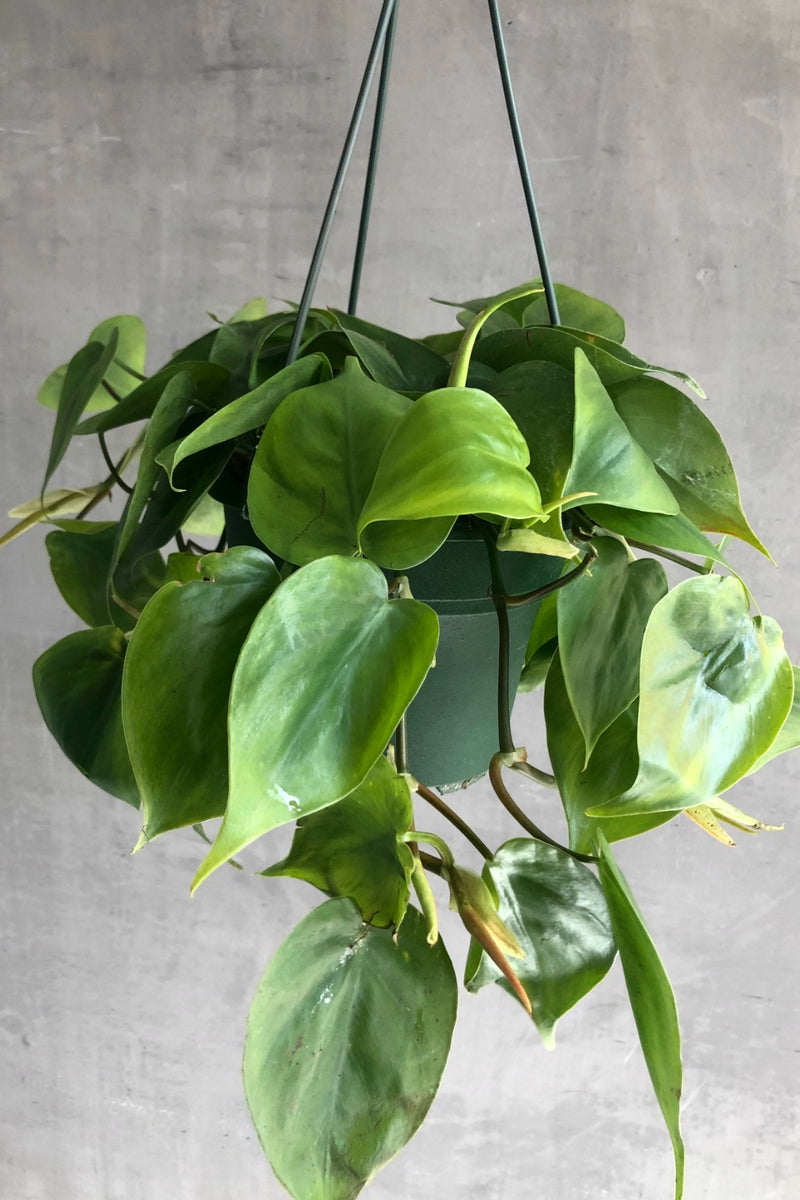 Ecovibe Home Philodendron Cordatum
