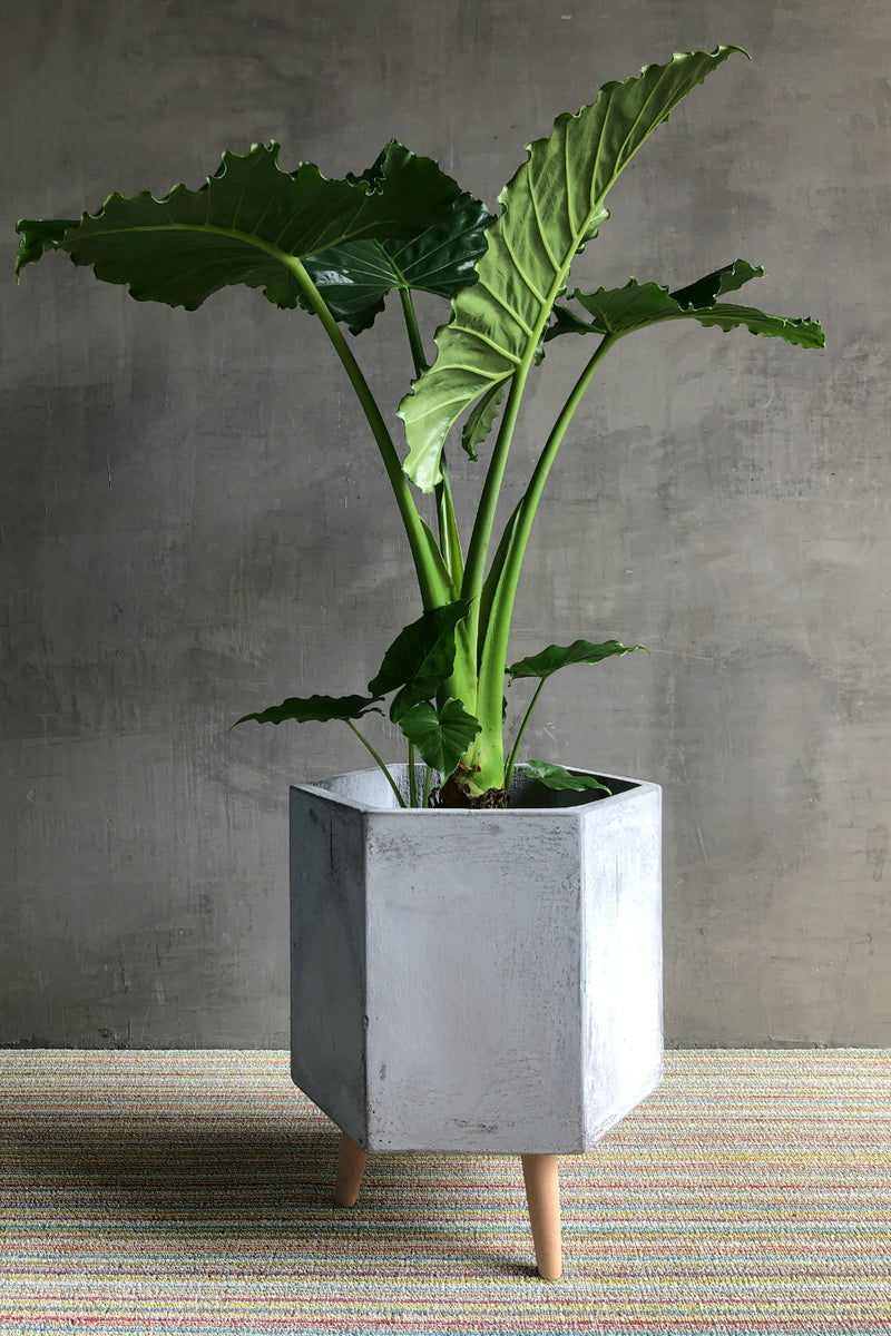 Alocasia Calidora 'Elephant Ear'