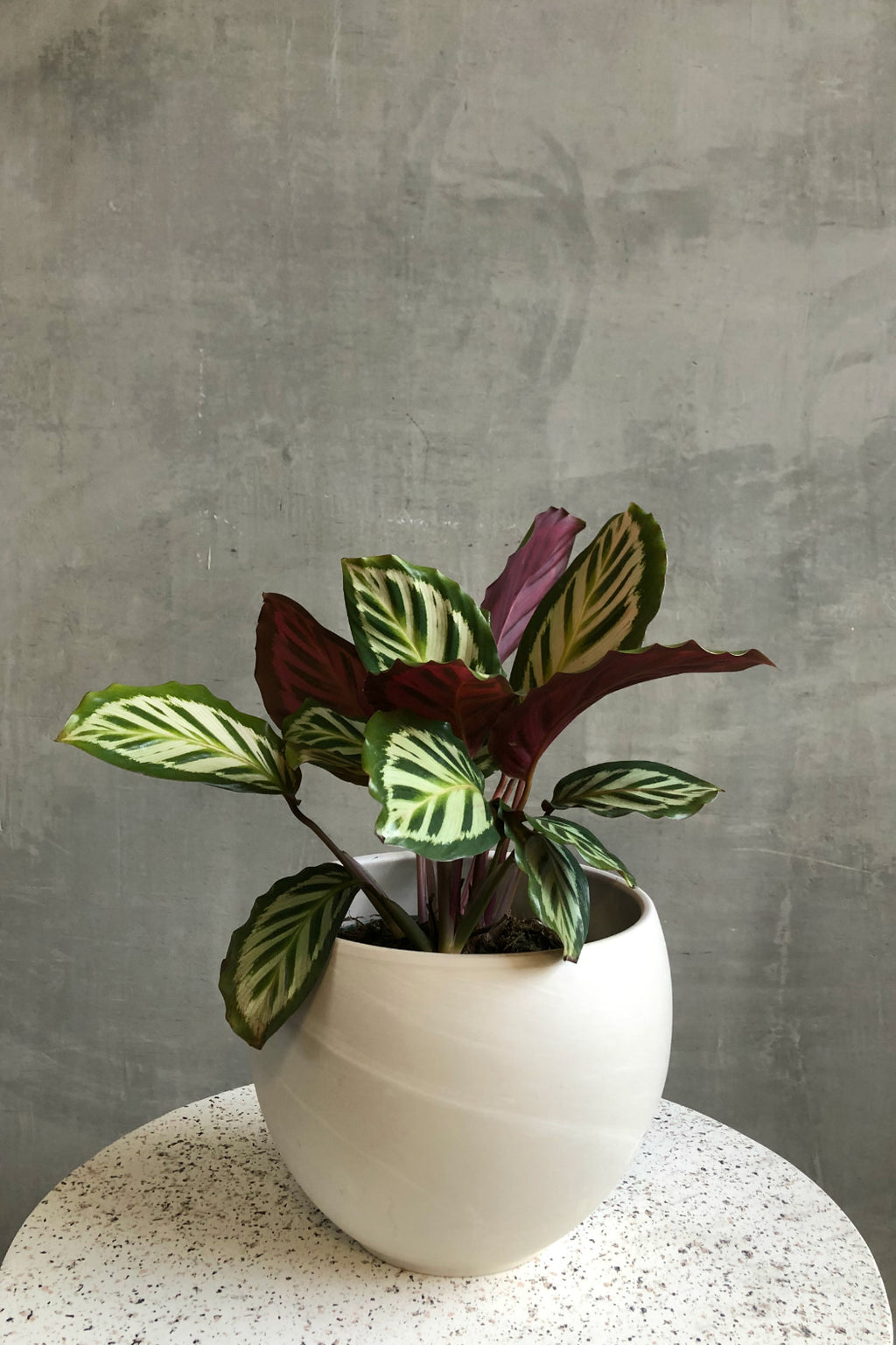 "6"" Calathea 'Shining Star'"