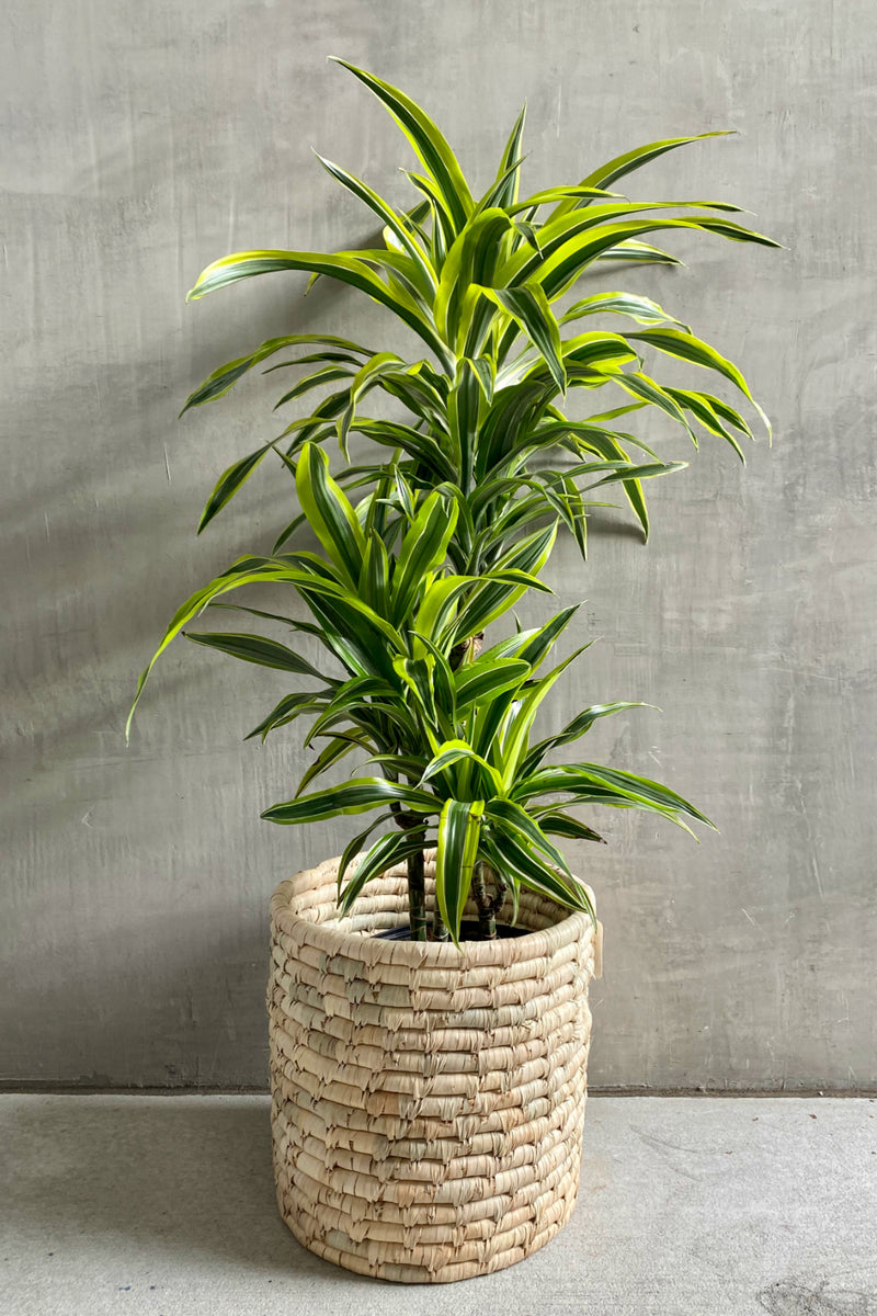 Dracaena 'Lemon Lime'