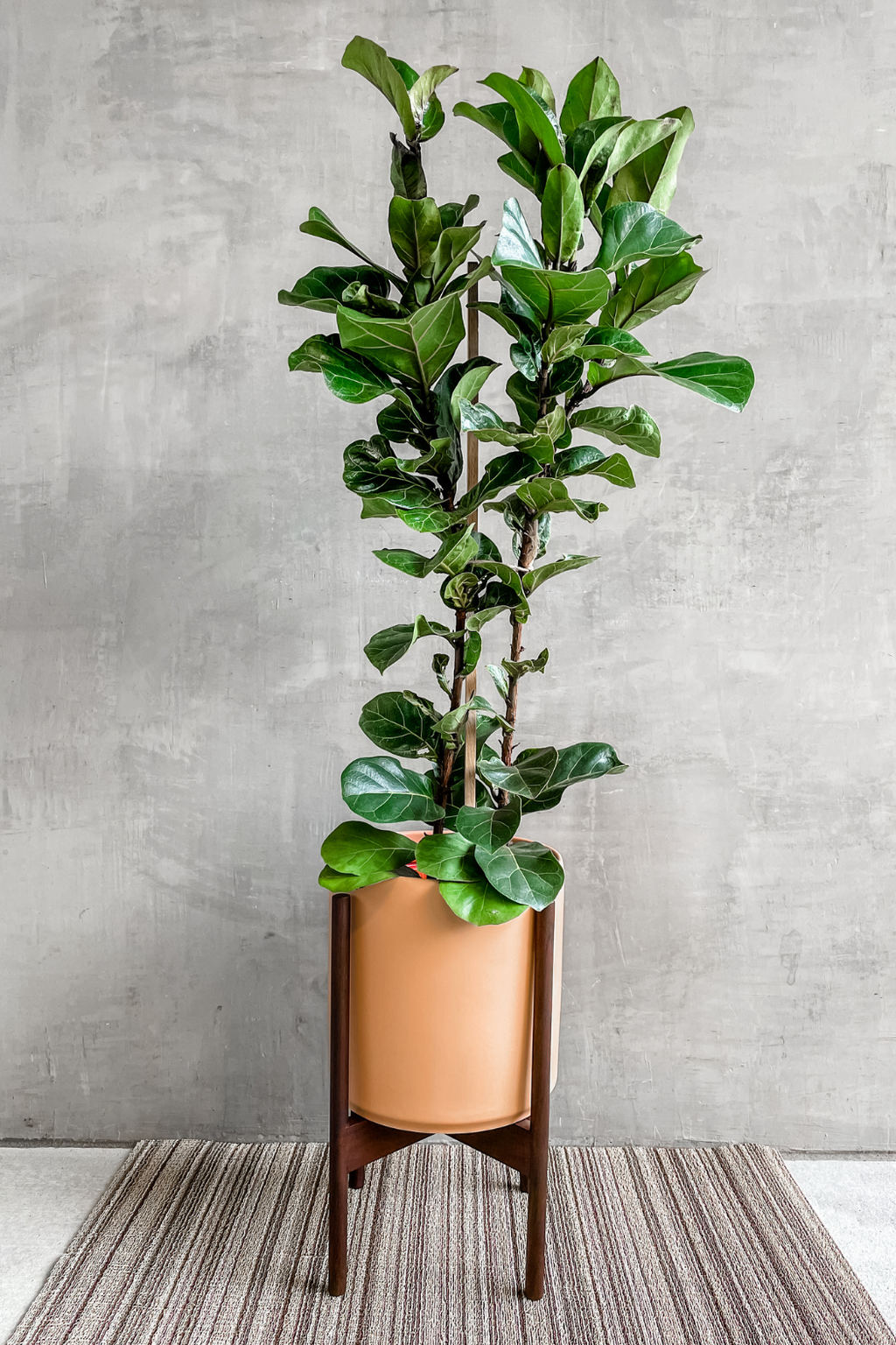 Ficus Lyrata Little Sunshine 10""