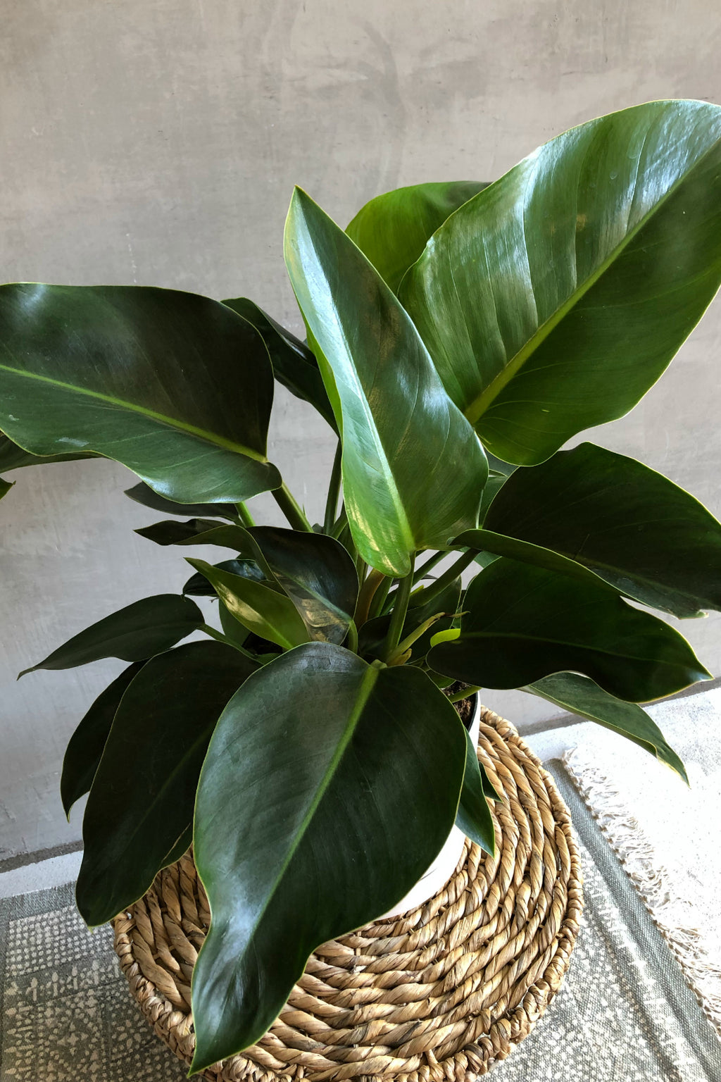 "8"" Philodendron 'Green Congo'"