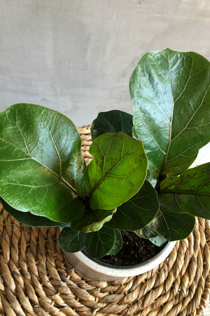 "6"" Ficus Lyrata Little Sunshine"