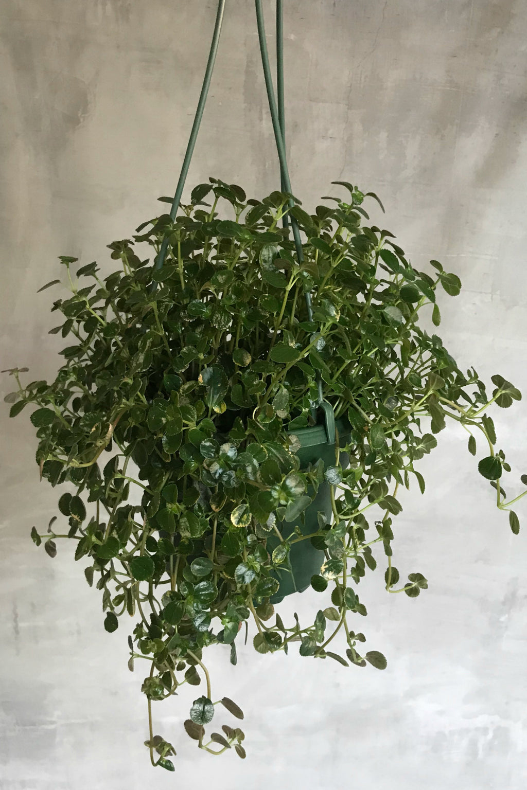 Baby Tears- Hanging Basket