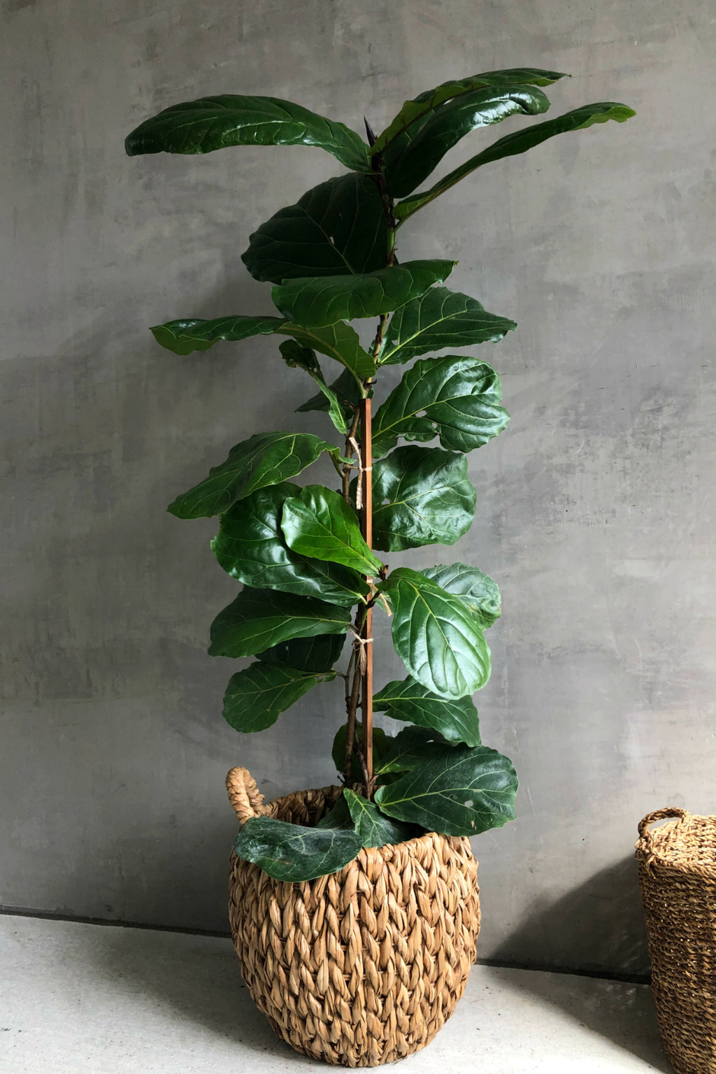 "10"" Ficus Lyrata 'Fiddle Leaf Fig' Standard"