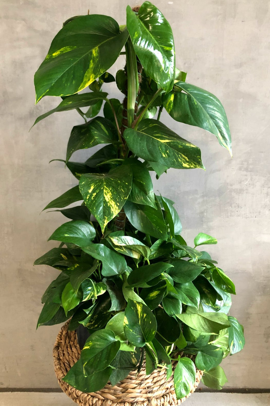 Pothos Giant Golden Pole