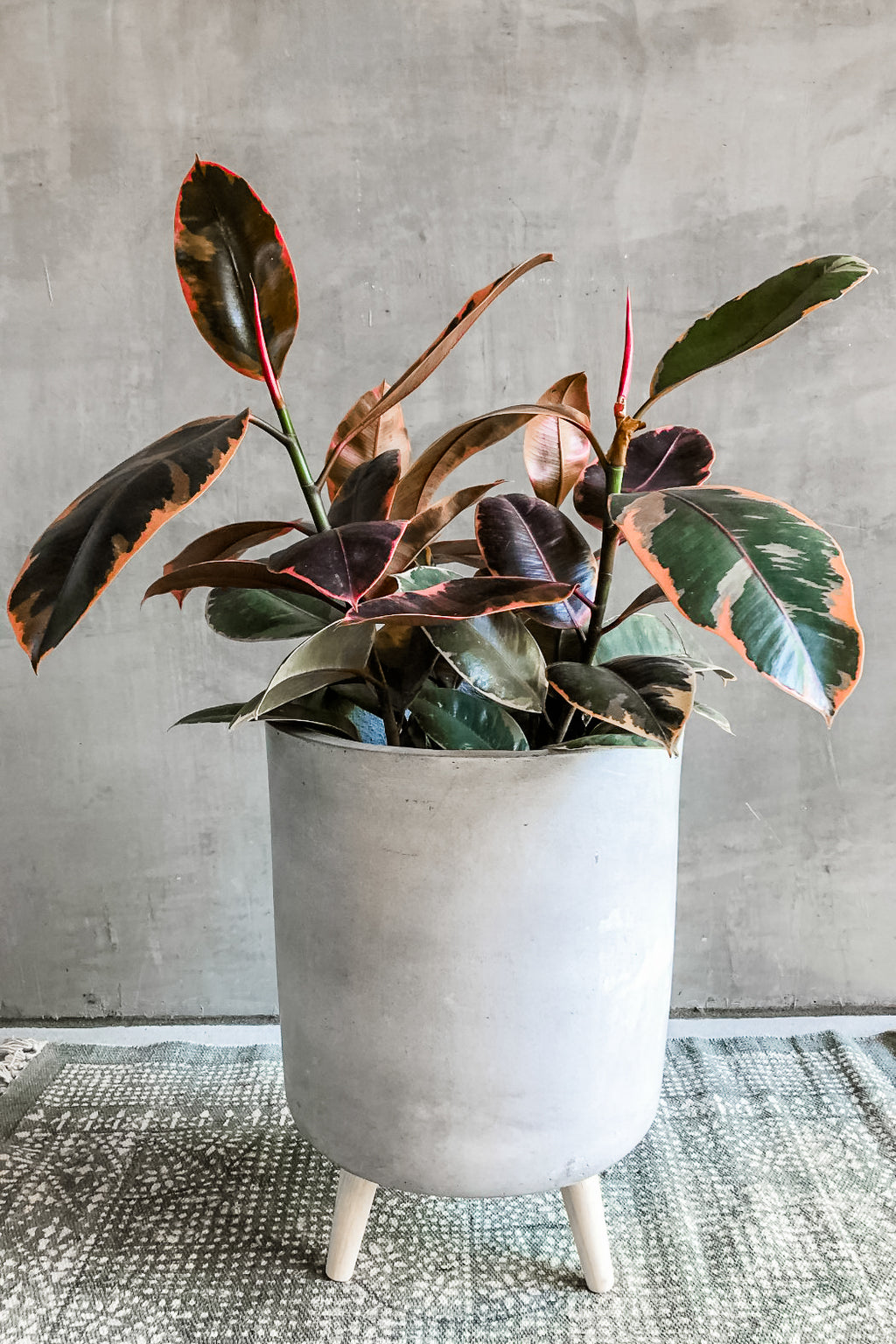 Ficus Rubber Plant 'Ruby'