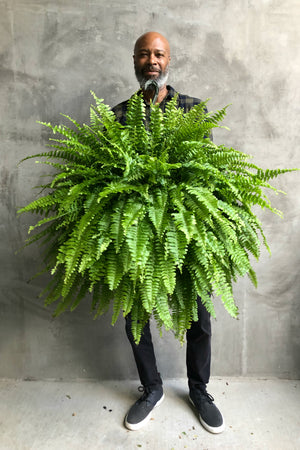 "10"" Boston Fern Hanging Basket"