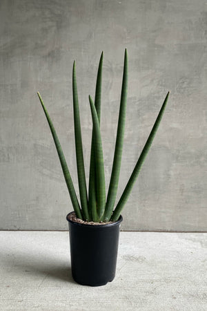 "10"" Sansevieria Cylindrica 'Handshake' Giant Form"