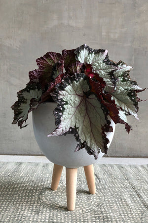 "6"" Rex Begonia 'Royal Crown'"