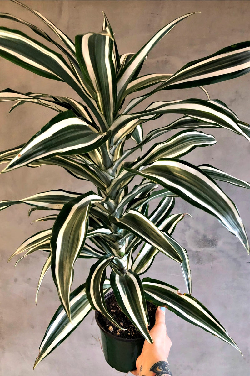 "6"" Dracaena Dragon Tree 'White Jewel'"