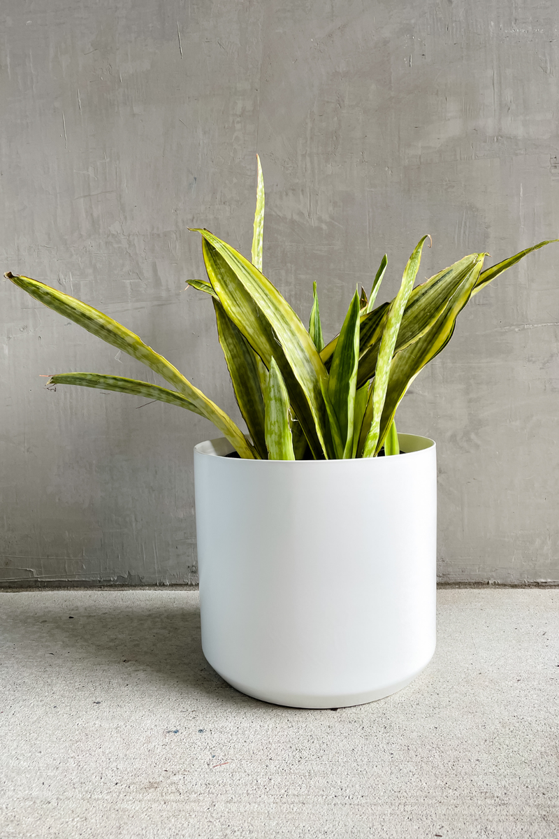 Sansevieria Yellowstone 8