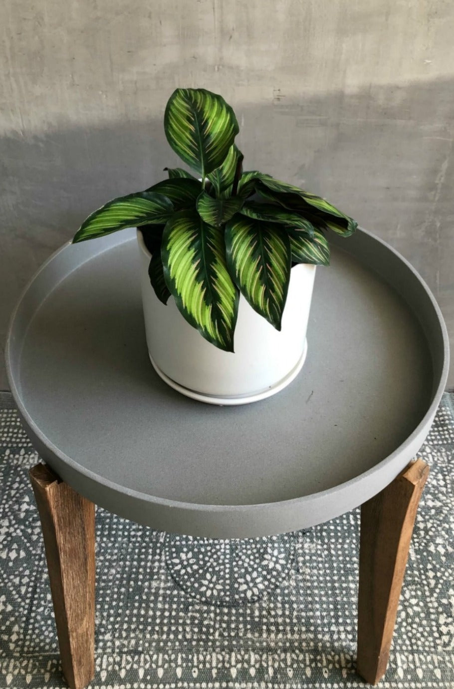 Calathea Beauty Star 6""