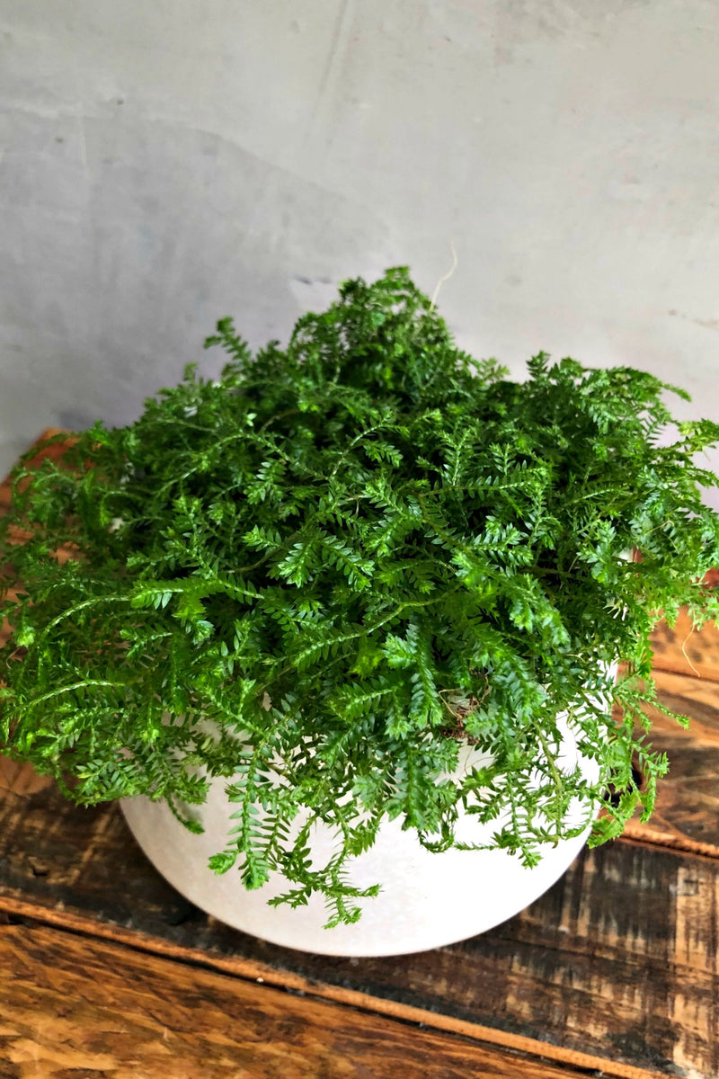 Selaginella 'Club Moss'