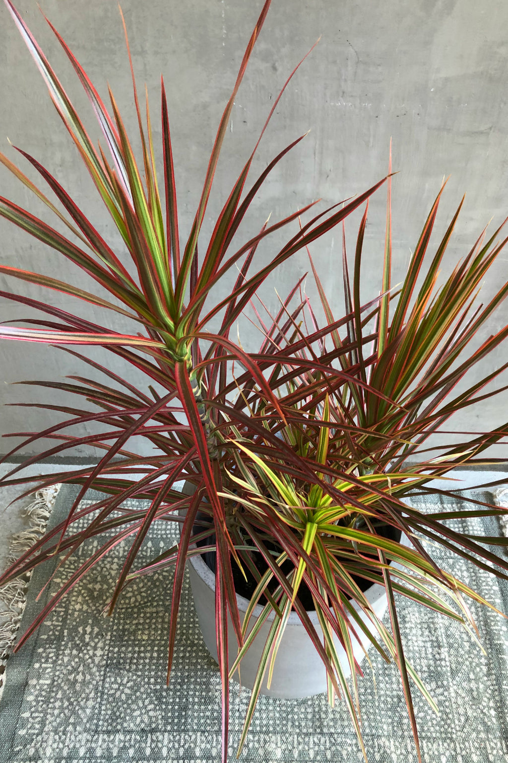 Dracaena 'Marginata Colorama'