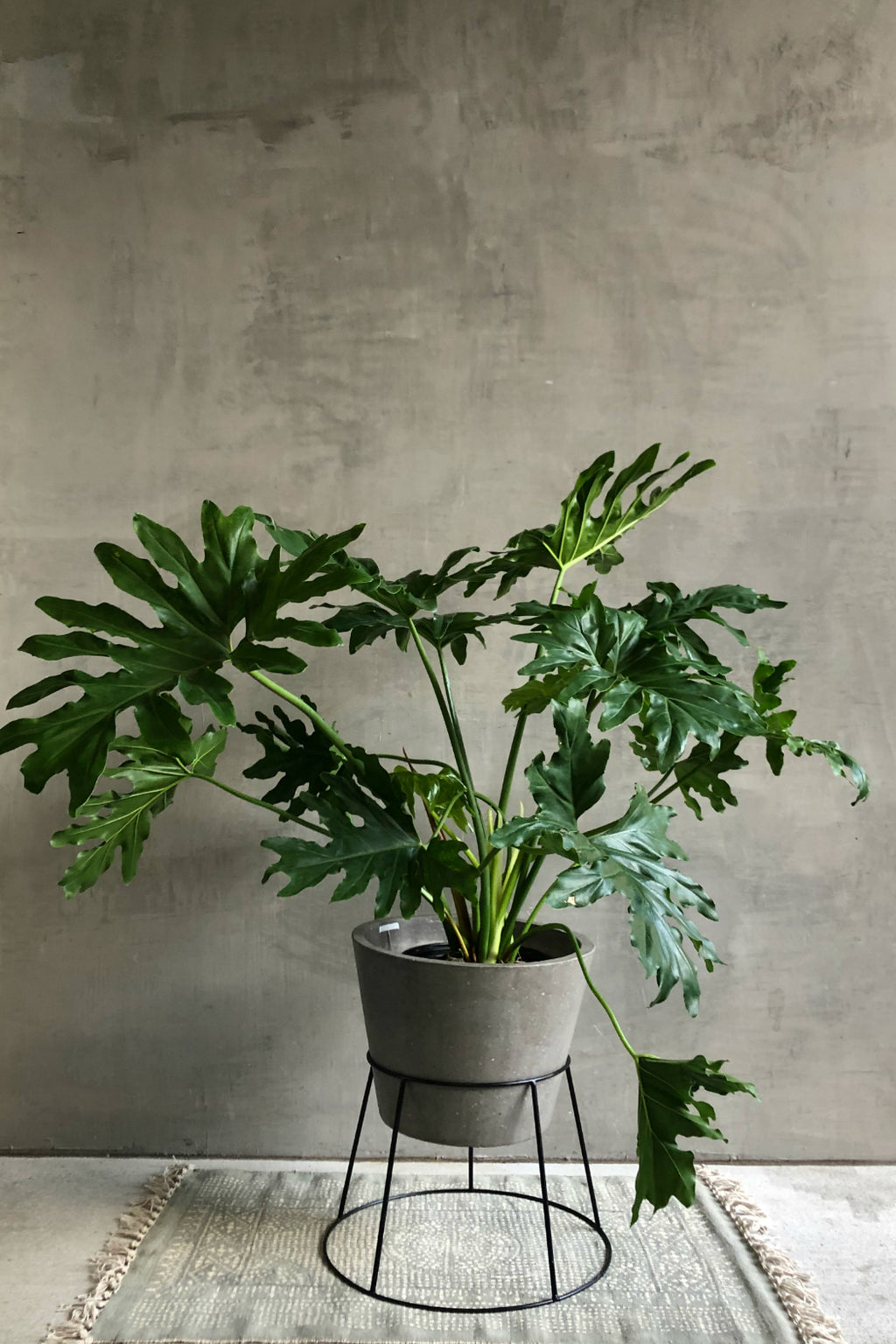 Philodendron 'Selloum'