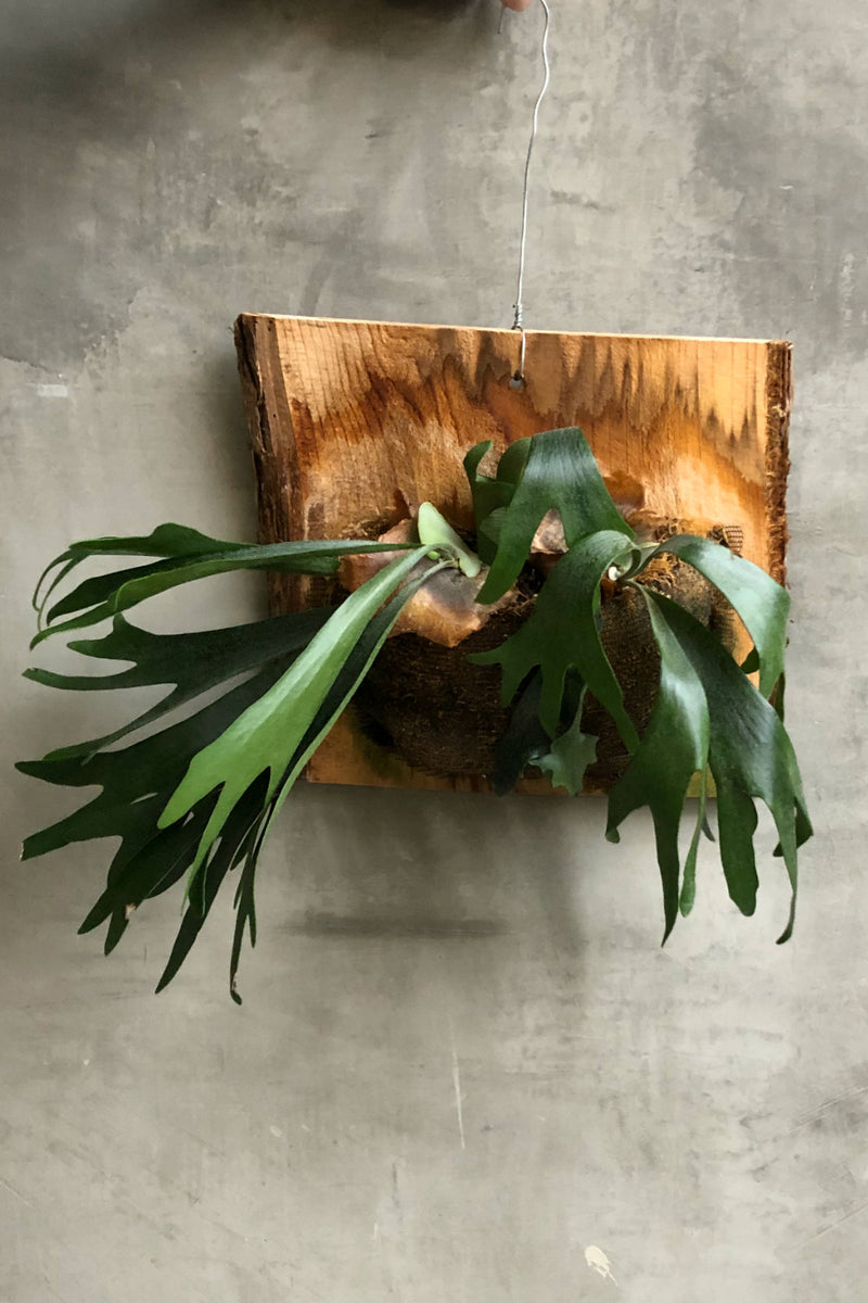 Mounted Staghorn Fern Ecovibe Home