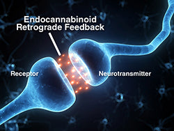 The endocannabinoid system regulates the body's homeostasis, or general state of balance, impacting such functions as mood, sleep, appetite, hormone regulation, and pain and immune response.