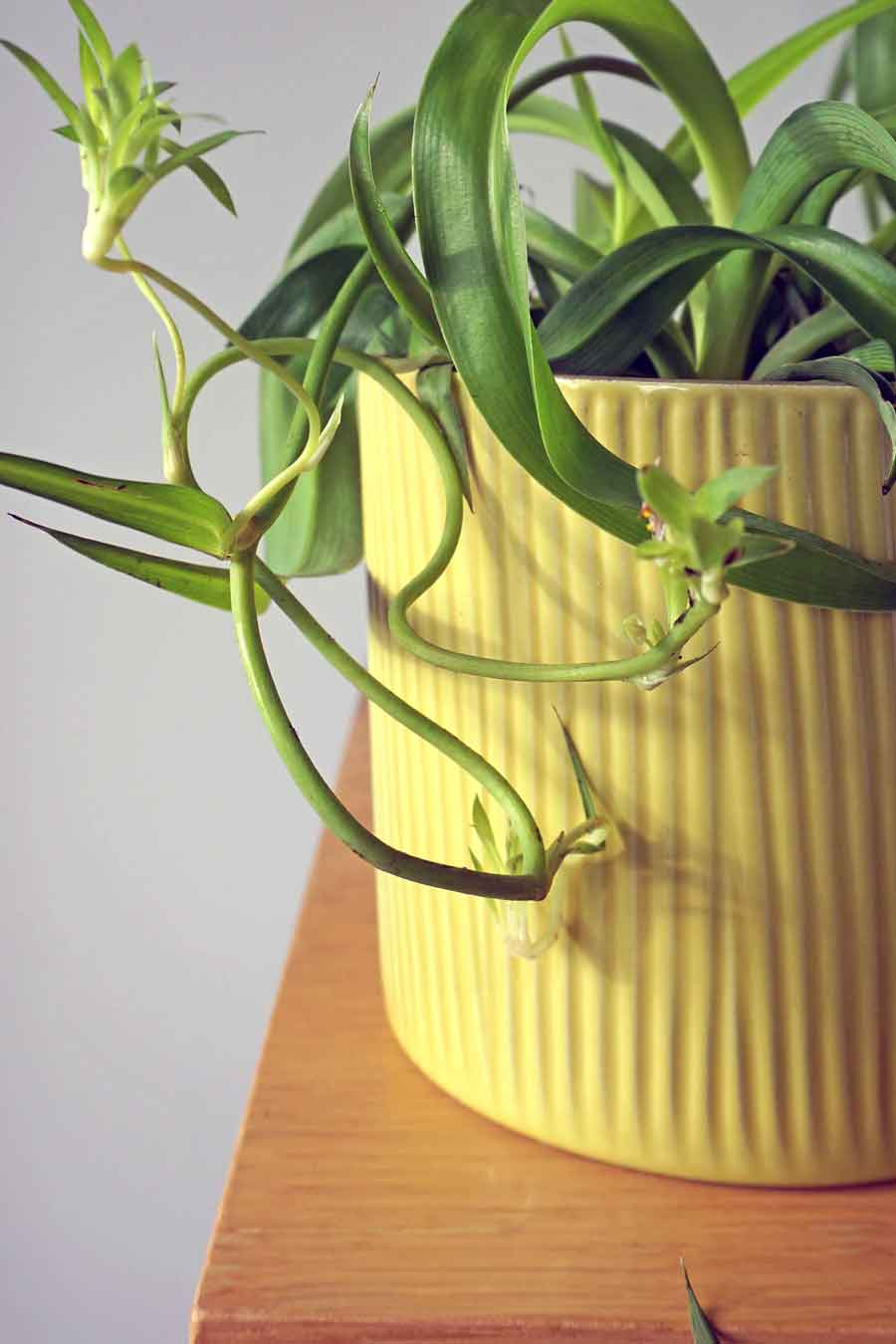 Curly Spider Plant UK, Bonnie Spider Plant - Ada's Attic Vintage -