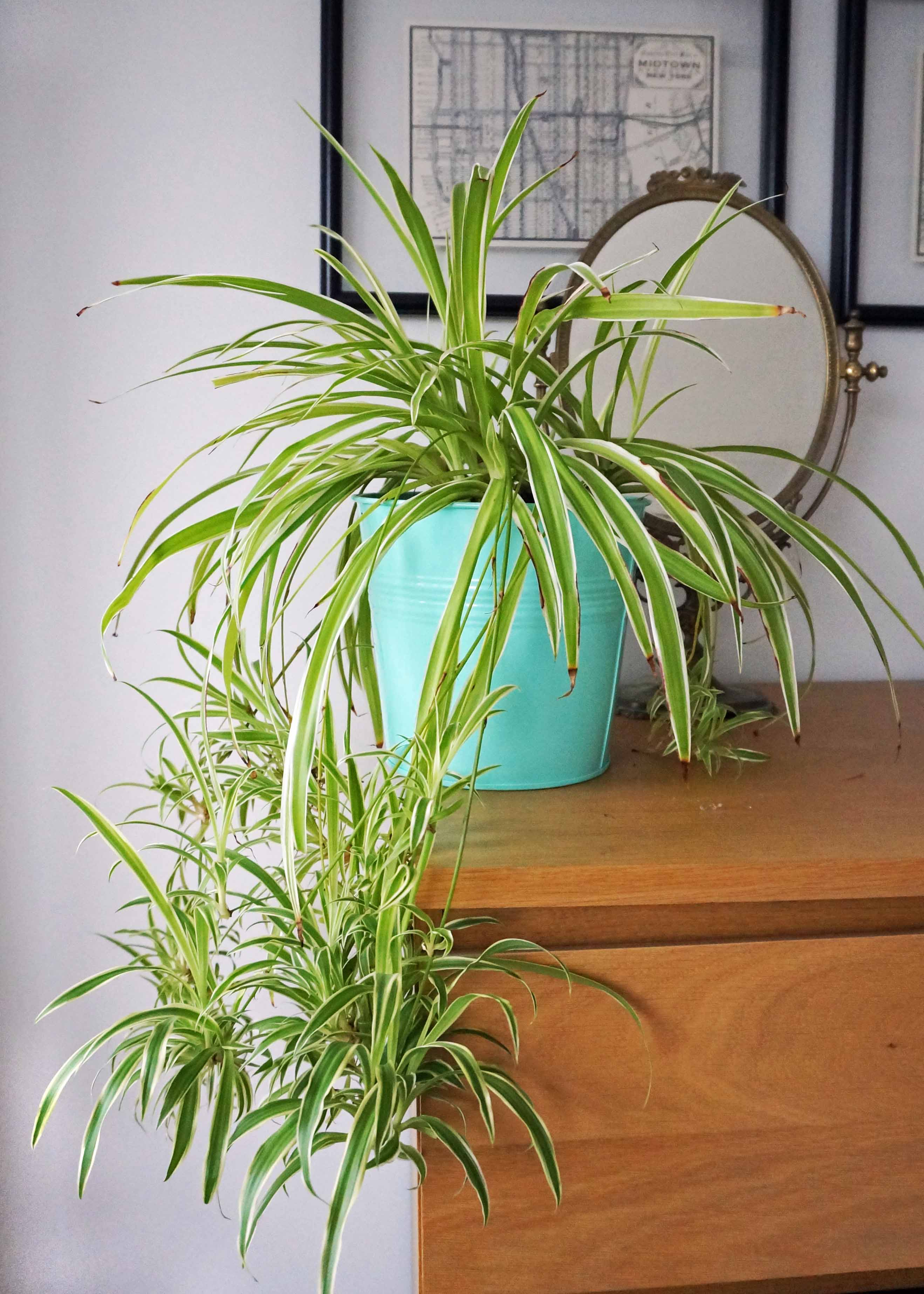 home grown air purifying house spider plant ada 39 s attic vintage. Black Bedroom Furniture Sets. Home Design Ideas