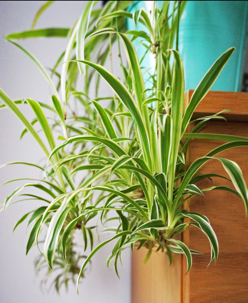 Home Grown Air Purifying House Spider Plant - Ada's Attic Vintage - 4