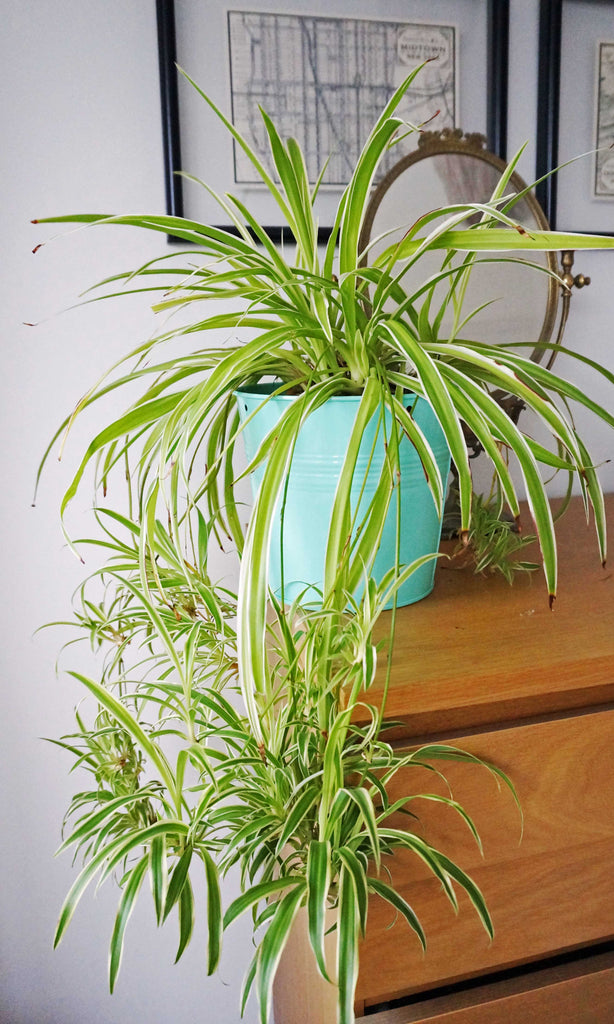 Home Grown Air Purifying House Spider Plant - Ada's Attic Vintage - 5