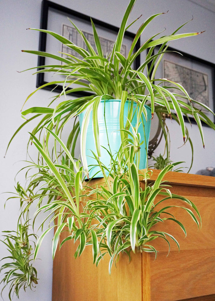Home Grown Air Purifying House Spider Plant - Ada's Attic Vintage - 3