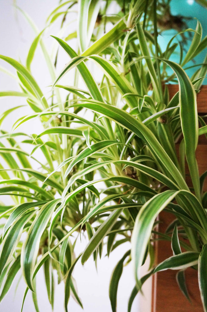 Home Grown Air Purifying House Spider Plant - Ada's Attic Vintage - 1