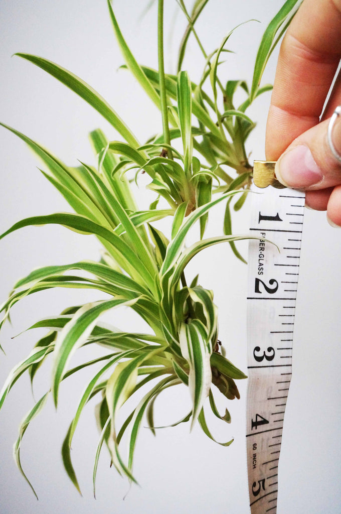 Home Grown Air Purifying House Spider Plant - Ada's Attic Vintage - 8