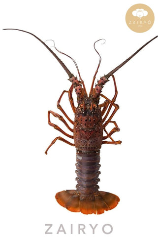 [SEASONAL] Ise Ebi / 伊勢海老 / Japanese Spiny Lobster