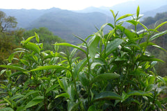 Mengku Harvested Tea