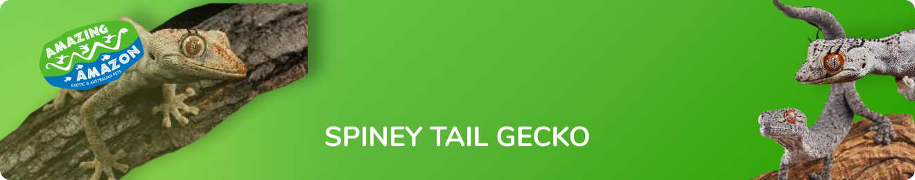 amazing_amazon_spiney_tail_gecko_banner