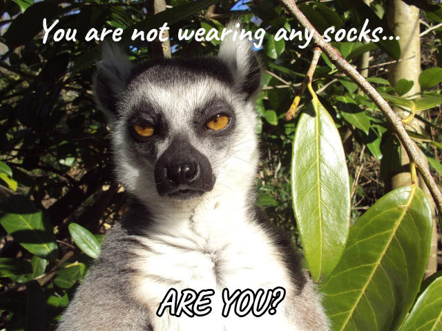 Meme with a lemur saying: you're not wearing any socks, are you?