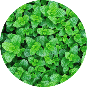 Mint grown easily at home.