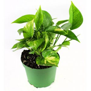 Pothos are a great indoor apartment plant thanks to their tendency to thrive in a variety of conditions.