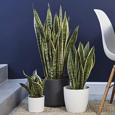Snake plants release oxygen at night while absorbing toxins in the air during the day, making them a great addition to your apartment.