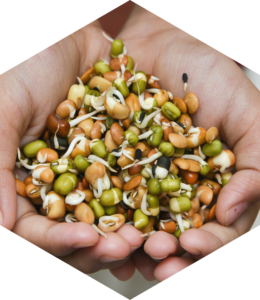 hands holding sprouted pea plant protein.