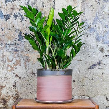 Drought resistent ZZ plant is the perfect addition to your apartment especially if you don't have a green thumb.