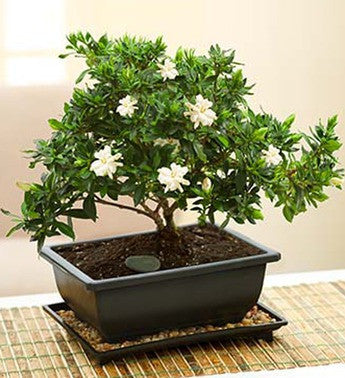 Ivory Gardenia Bonsai Tree