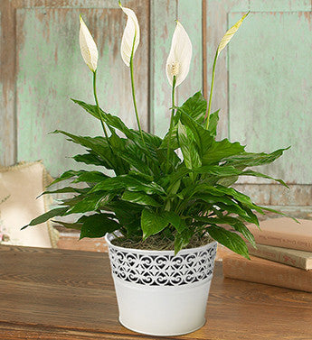 Peaceful Lily Plant