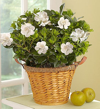 Blossoming White Gardenia Basket