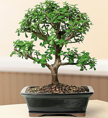 Petite Emerald Bonsai Tree