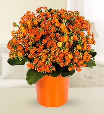 Cool Kalanchoe Plant - Orange