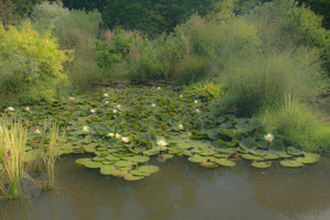 Waterlilies on the Pond